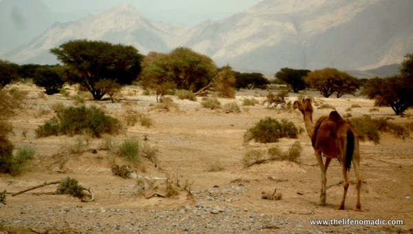 Camel on the road in Oman.