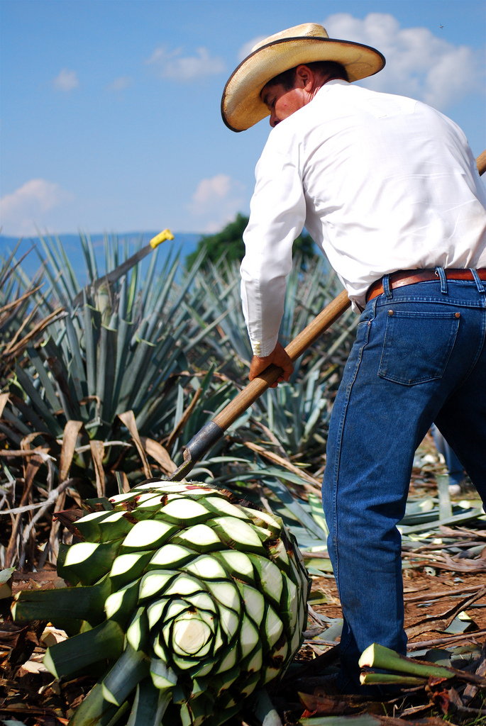 Jimador harvesting agave plants by Celso Flores via Flickr