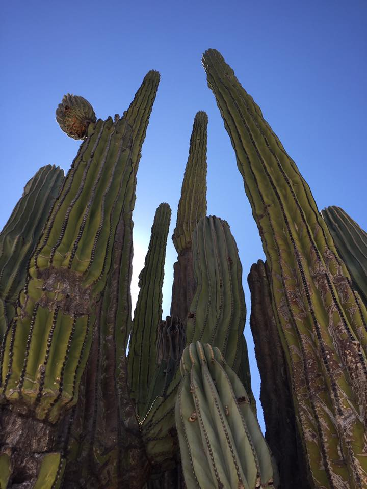 Beautiful cacti in Baja.