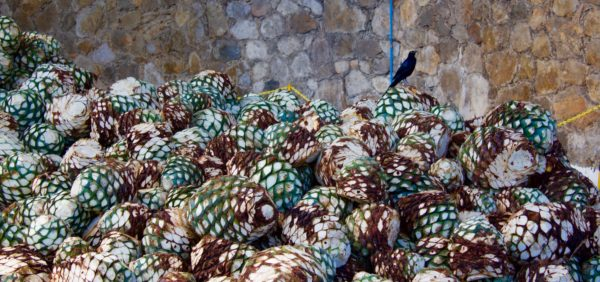 Grackle and agave piñas