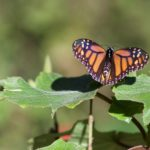 The Monarch Butterflies of Mexico